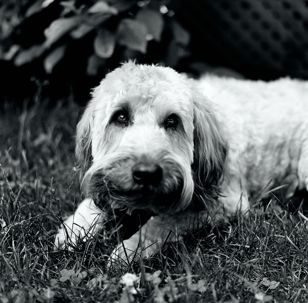 lauren-ashmore-oscar-dog-cute-small-terrior-grass-bw-black-white-120-kodak-medium-format