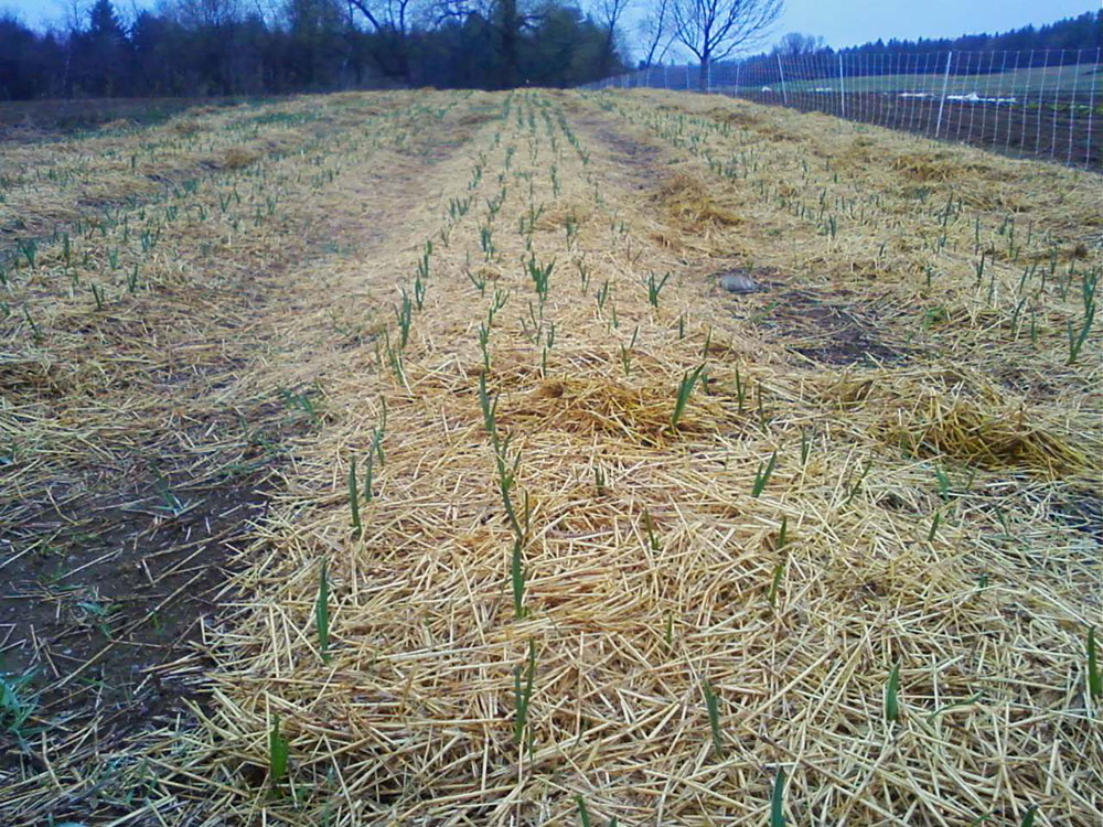 garlic-in-spring.jpg