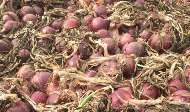 We harvested one of our best onion crops ever at JSF this fall and we're busy curing and cleaning them for a long winter's worth of cooking!