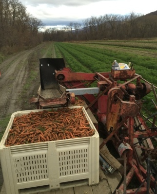 Carrot harvest at JSF with mechanical root harvester.