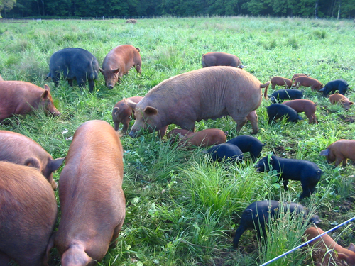 pigs-in-pasture.jpg
