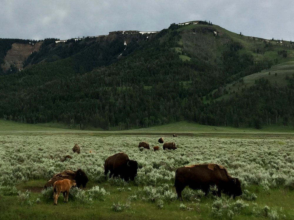 Bison families - parents loosing winter coats.