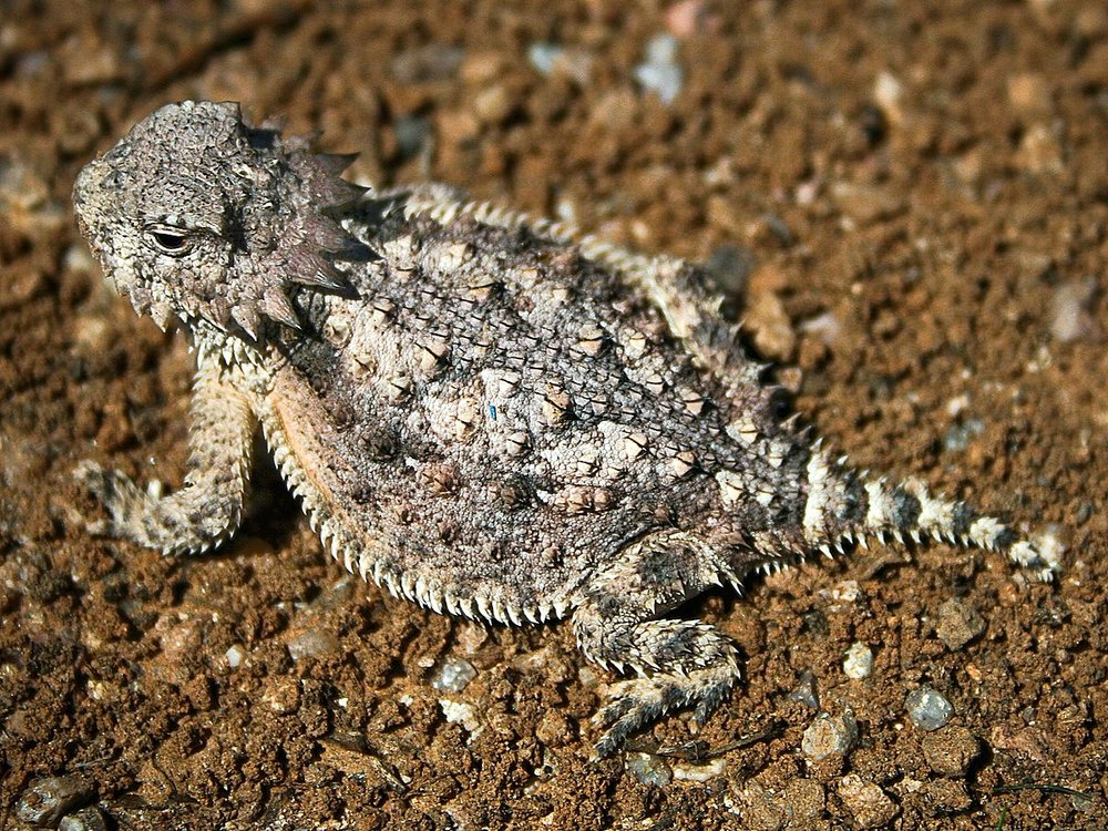 I remember stumbling upon a horny toad. Did you know they spit blood from their eyes!?