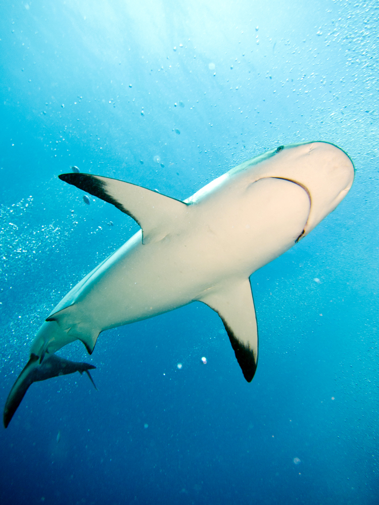 Hnoduras_UW_Shark-1_web.jpg