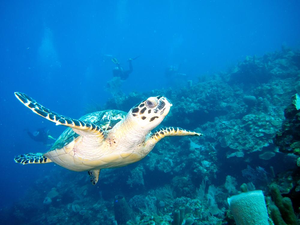 Hnoduras_UW_Turtle-1_web.jpg