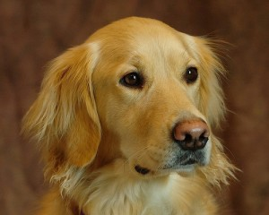 Golden retriever, a representative of humanity's best friend