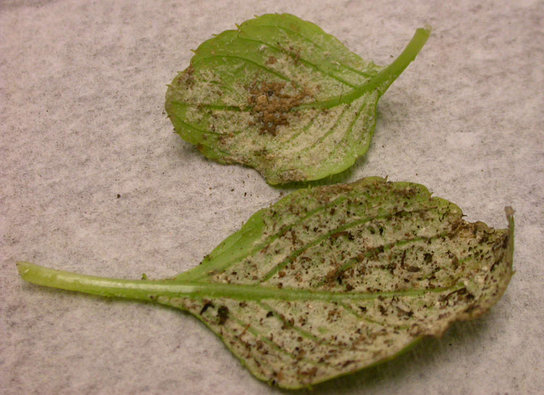 downy mildew on impatiens leaves.jpg