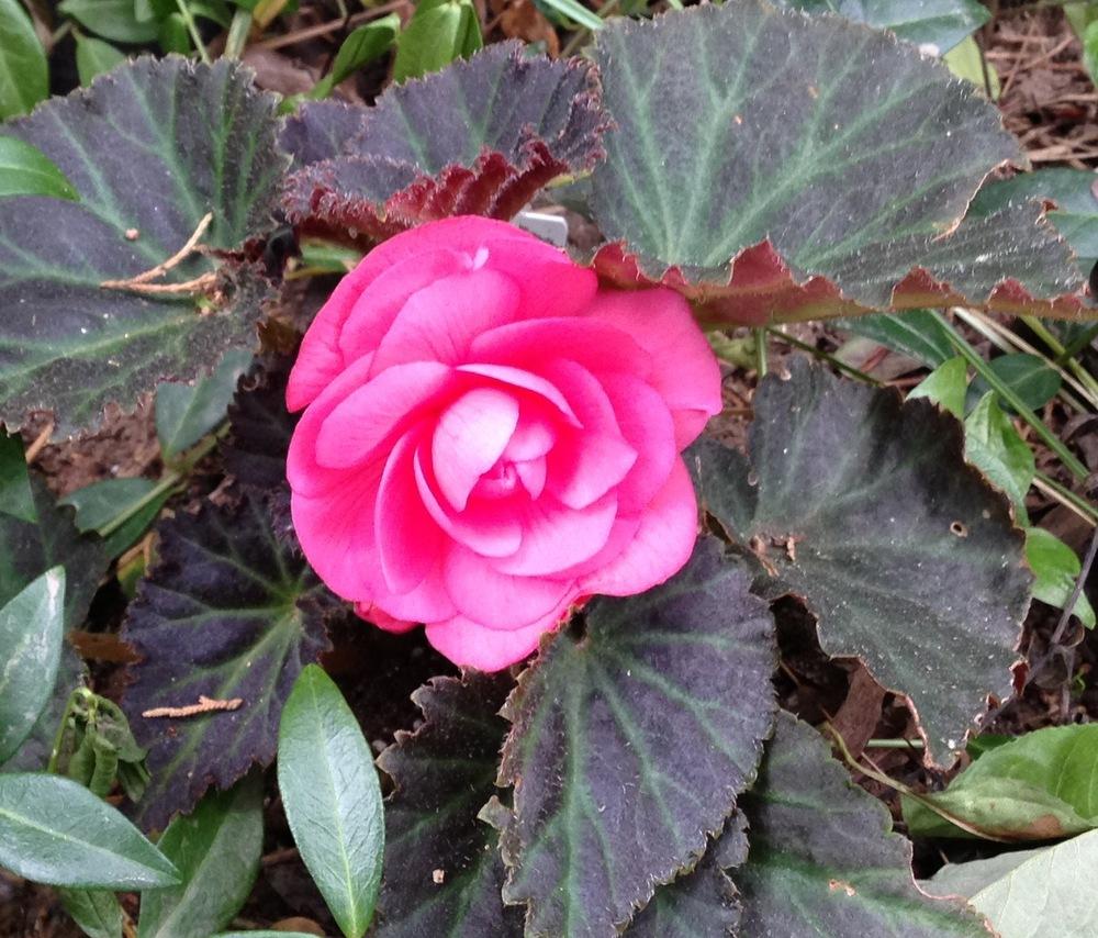 Dark Mocca Pink Begonia
