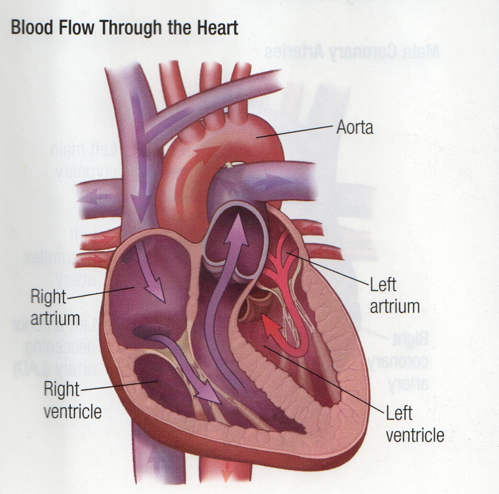 Schematic of a heart