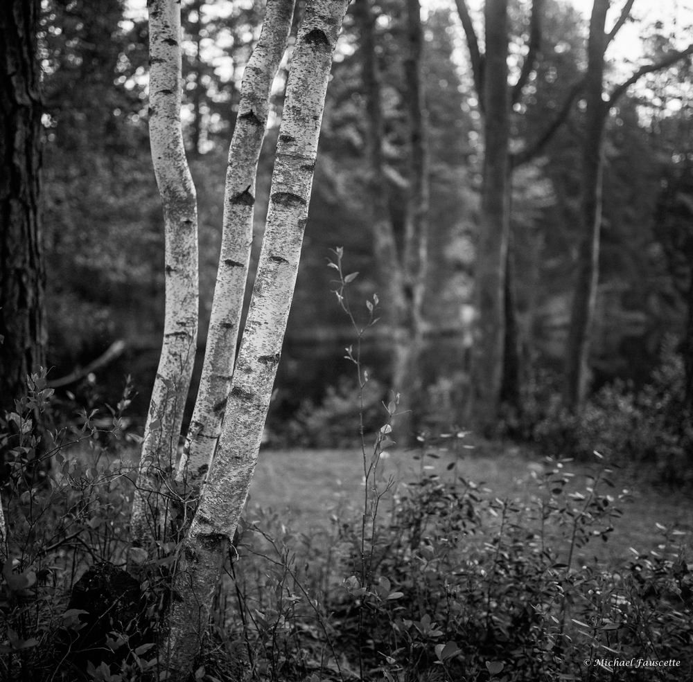 3 birch trees | Mamiya6 Mamiya G75 | michael fauscette