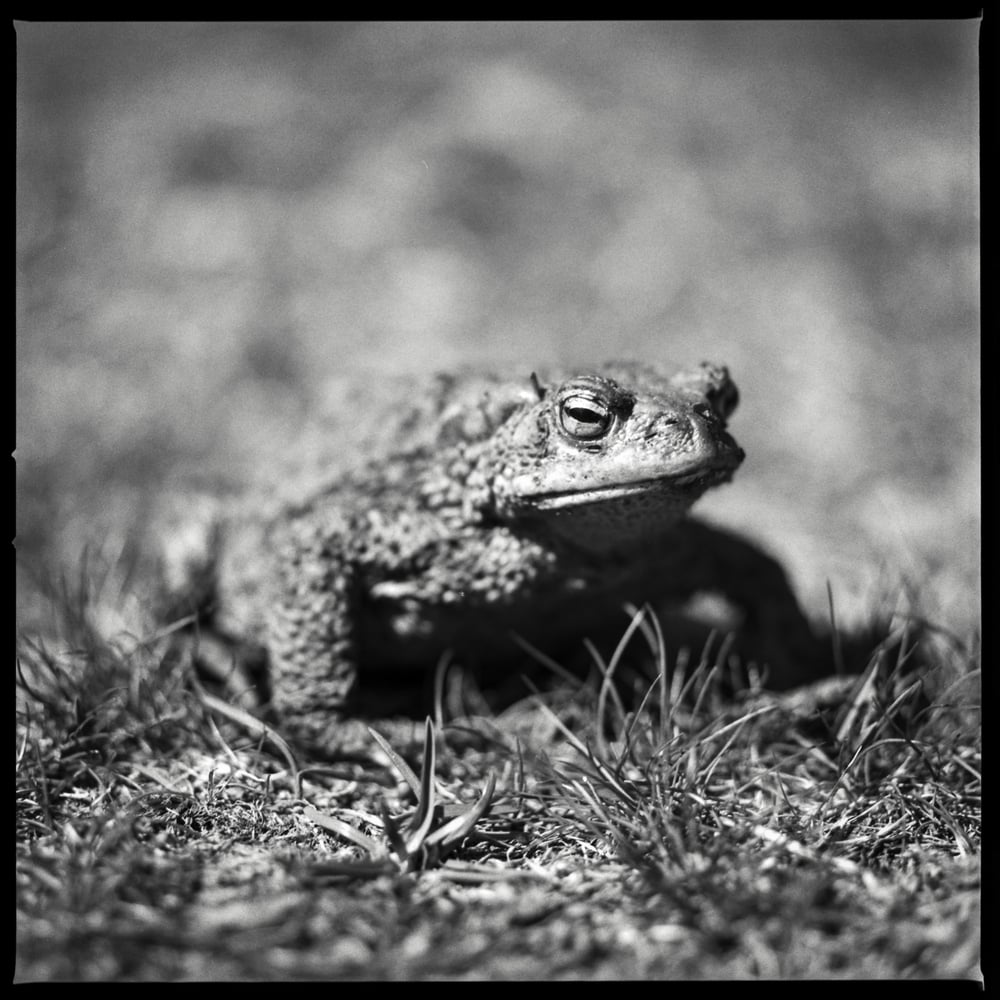 Angry Toad | Hasselblad 500cm | Ilford FP4+ | Marie Westerbom