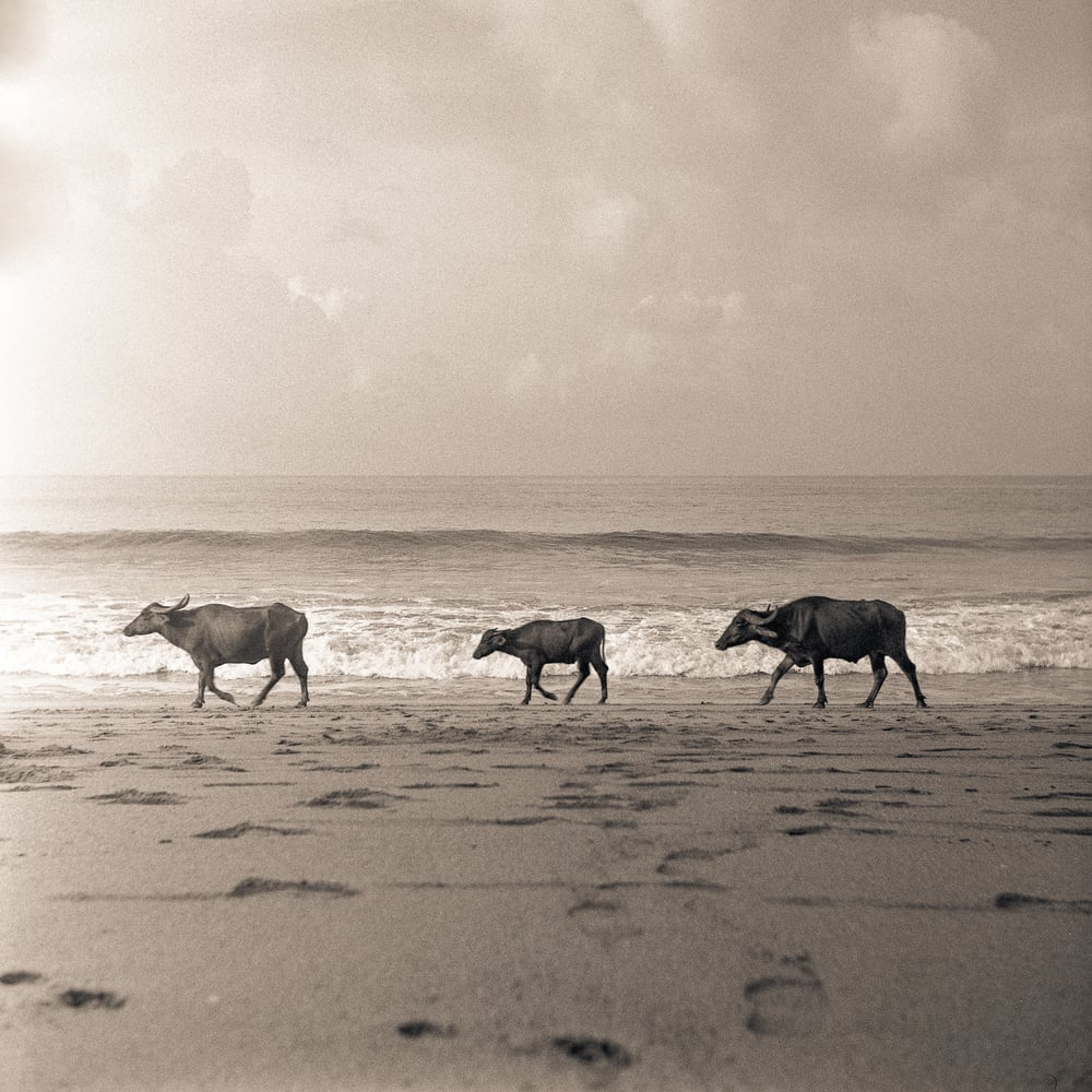 Three Cows | Gokarnai India | Weltaflex TLR | HP5 | Tristan Aitchison