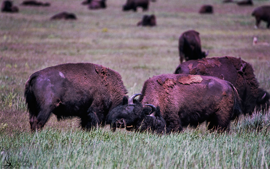 Fighting bison. NikonF5 | Tamron SP150-600 | Really Right Stuff | Ektar100 | F8-1/500 Two bison giving the crowd a show.