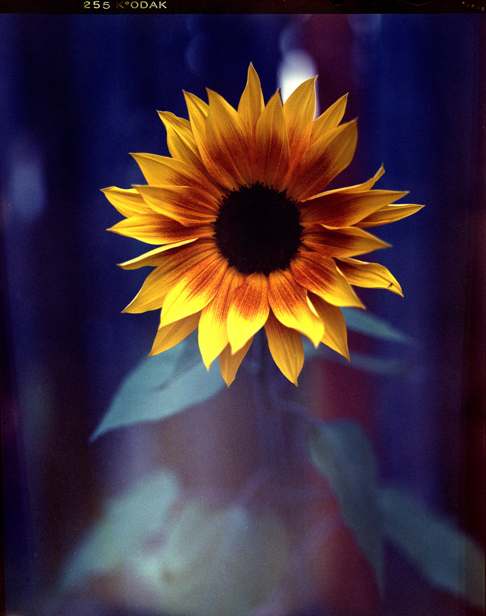 Last Flower of the Year | Toyo 4x5 | Schneider 150mm, Vericolor III | Sam Margulis