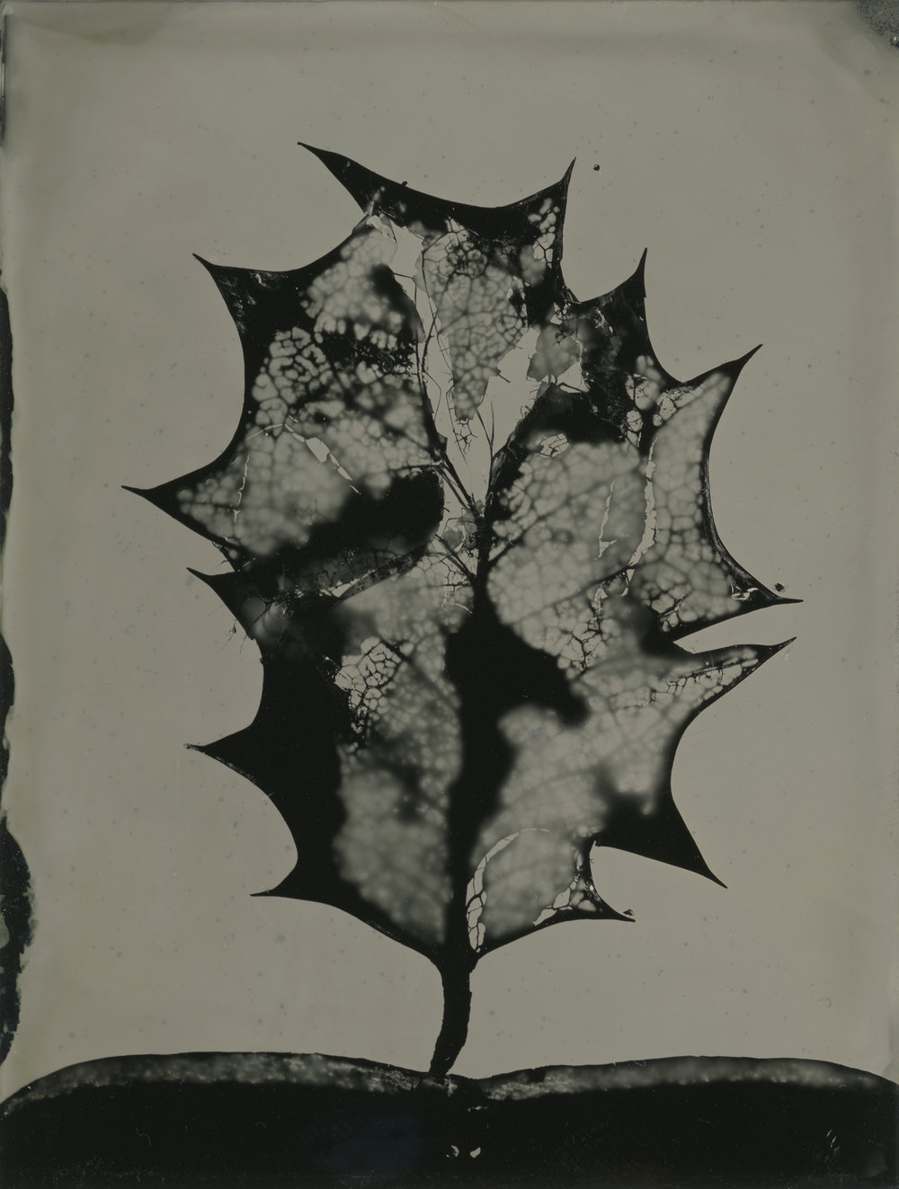 Wet Plate Collodion on 5x4 aluminium | leaves directly on plate (photogram) | Steve Lovegrove