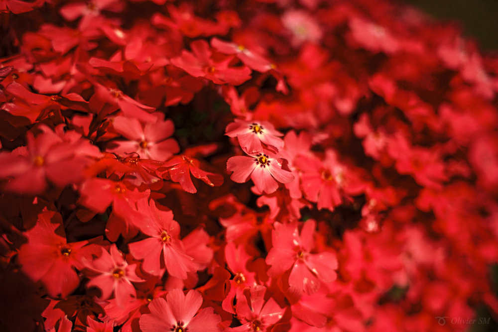 Red Flowers | Zürich, Switzerland |Nikon FM3A | Nikkor 28mm f/2.8 | Kodak Ektar 100