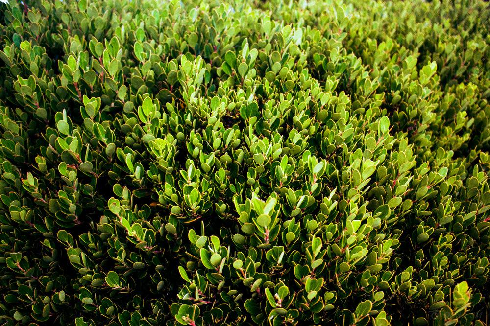 Green Leaves | Cape Town, South Africa |Nikon FM3A | Nikkor 50mm f/1.2 | Kodak Ektar 100