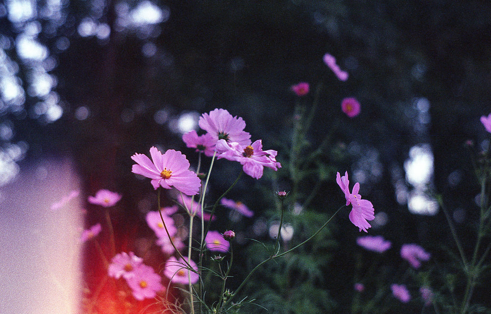 Cosmos | Zorki 6 | Jupiter 8 1 50mm f2 | Walgreens 200