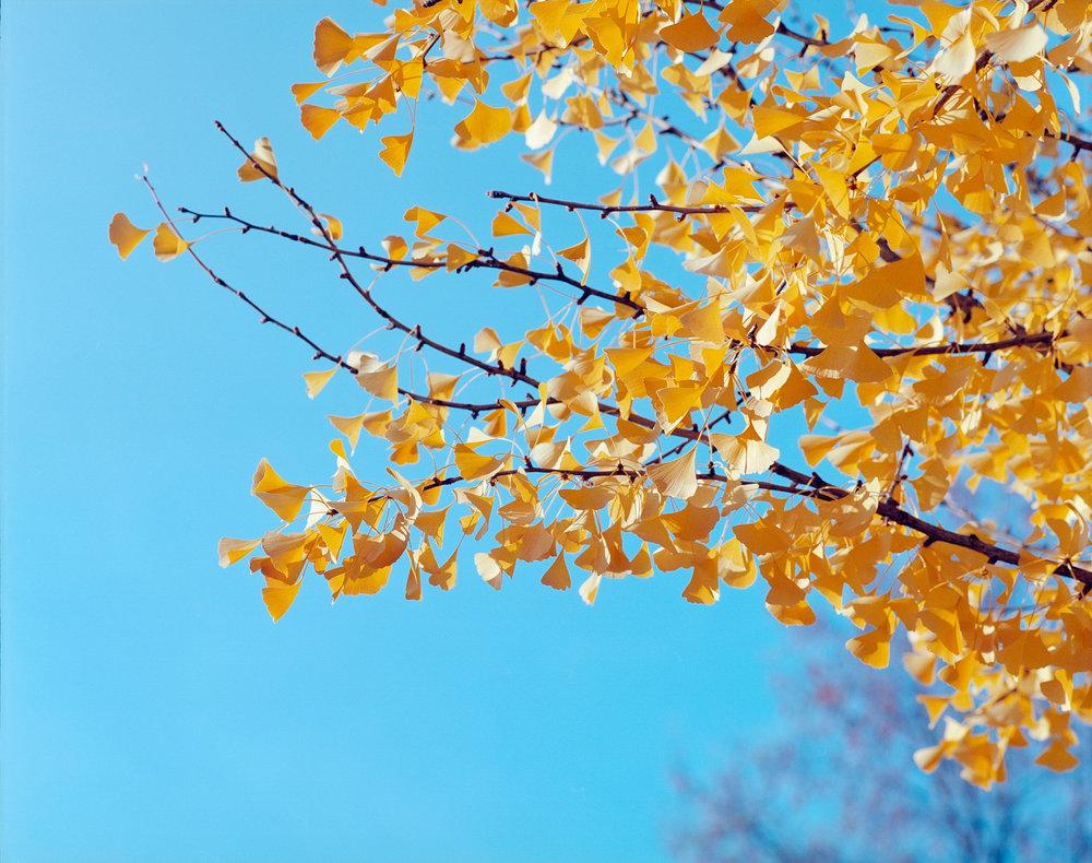 Colton Allen | Ginkgo Leaves | Pentax 67 | Kodak Ektar 100