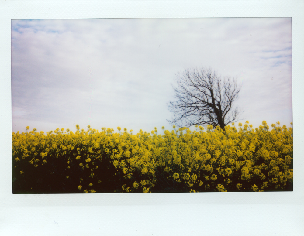 Yellow Oilseed | Fuji Instax Wide 210 | Roger Harrison