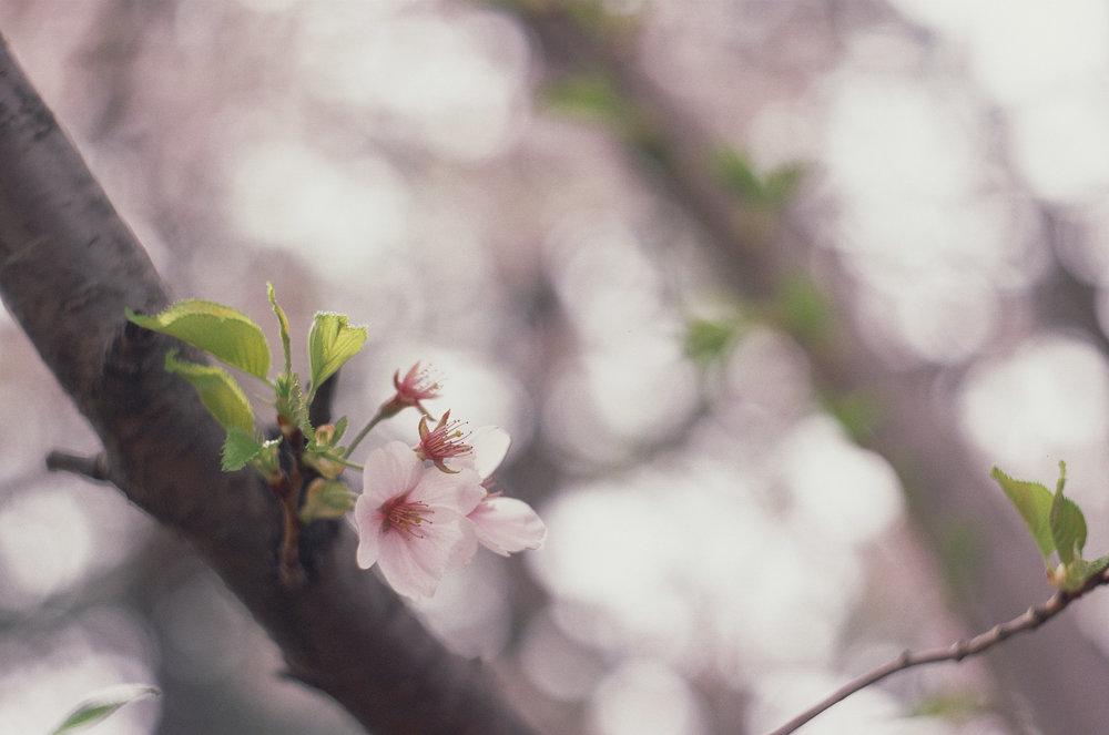 Sakura | Spotmatic II | Helios 44mm f/2 | Fujichrome Sensia 200 | A. Gammell