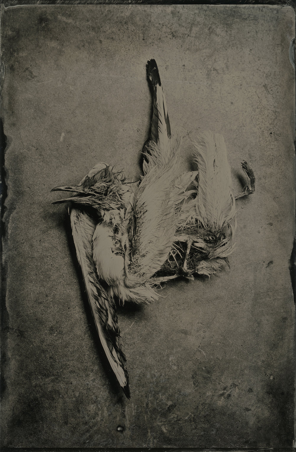 Steve Lovegrove | Seagull | Sinar Norma | 5x7 Wet Plate Collodion