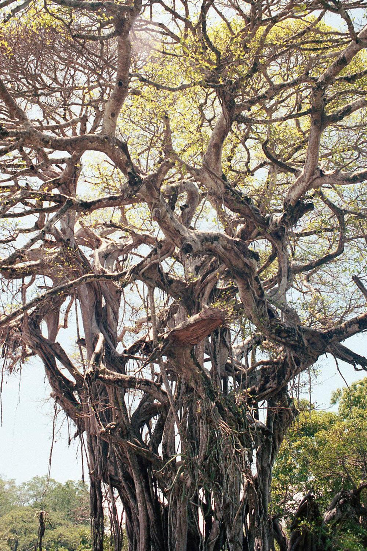 CR_tree.jpg