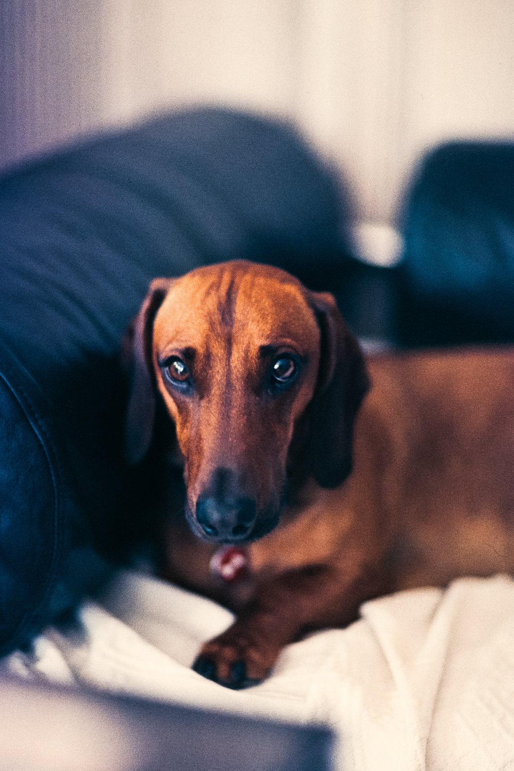 Ludwig Hagelstein | Dignified Dachshund | Canon EOS 1V
