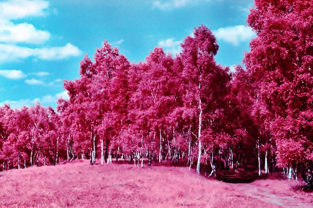 Bubblegum Trees | Colour IR | Zenit TTL | Lucy Wainwright
