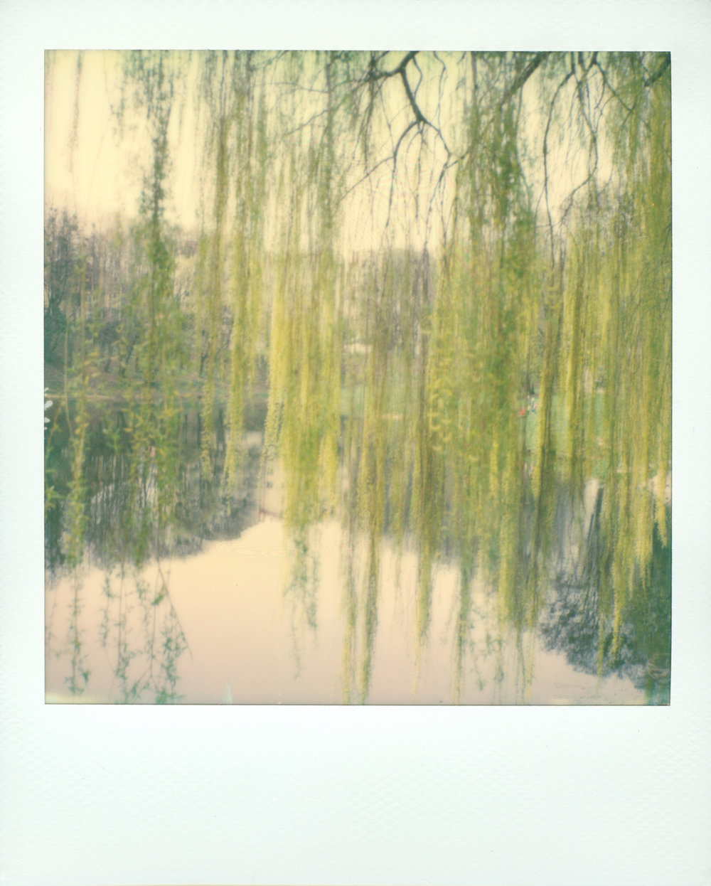 Weeping Willow | Polaroid SX70 | Impossible Project 70 Color | Noah Zyla