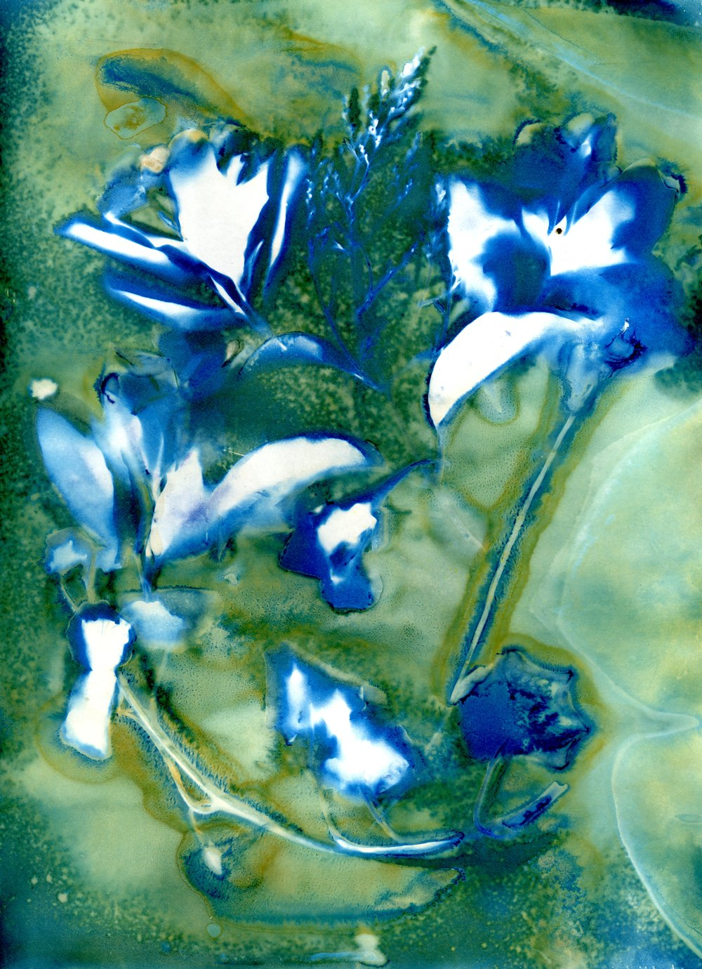 My Garden | Wet Cyanotype | Barbara Murray