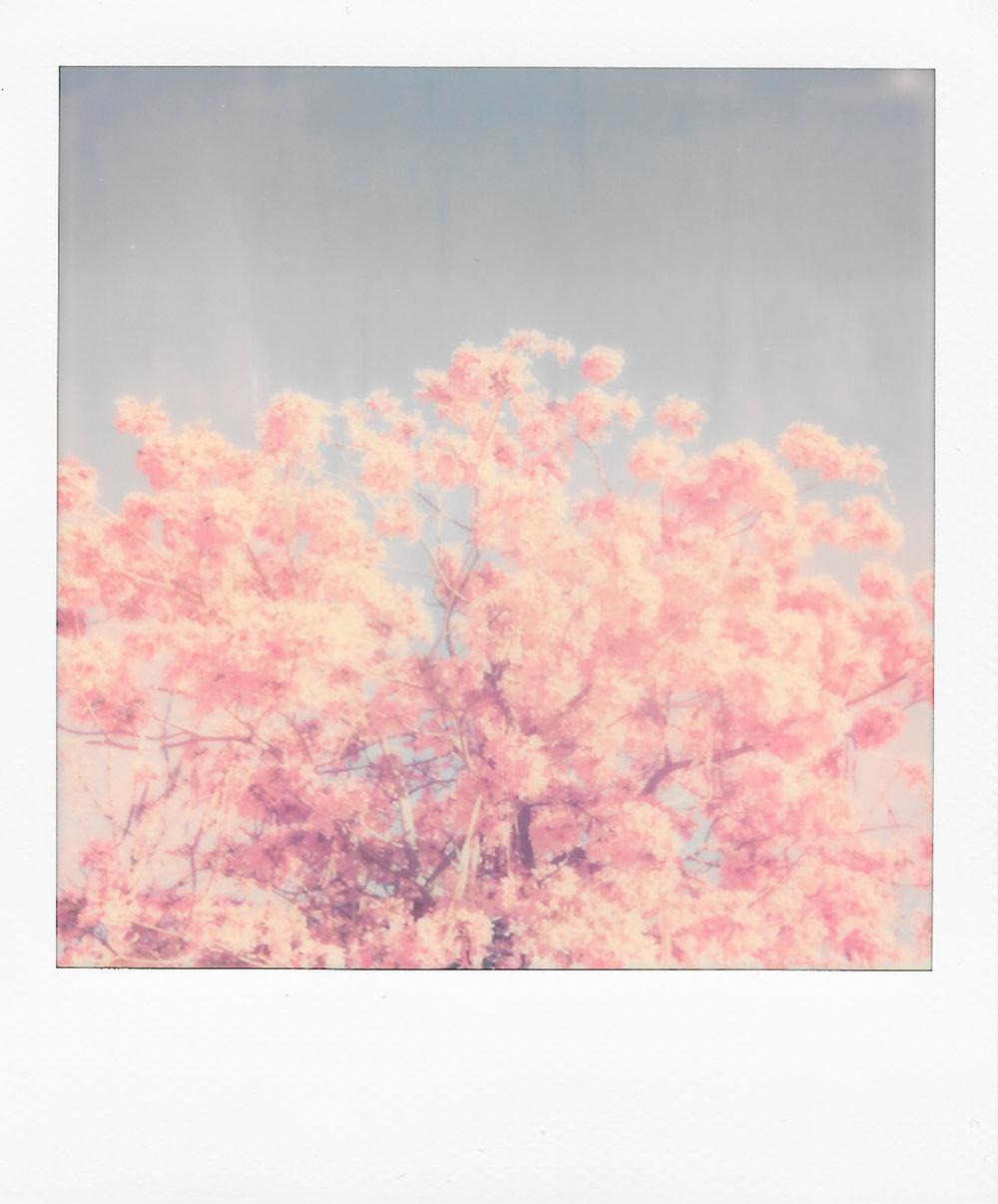 Pink Leaves | Polaroid OneStep 2 | Polaroid Color 600 | Kevan Wilkinson