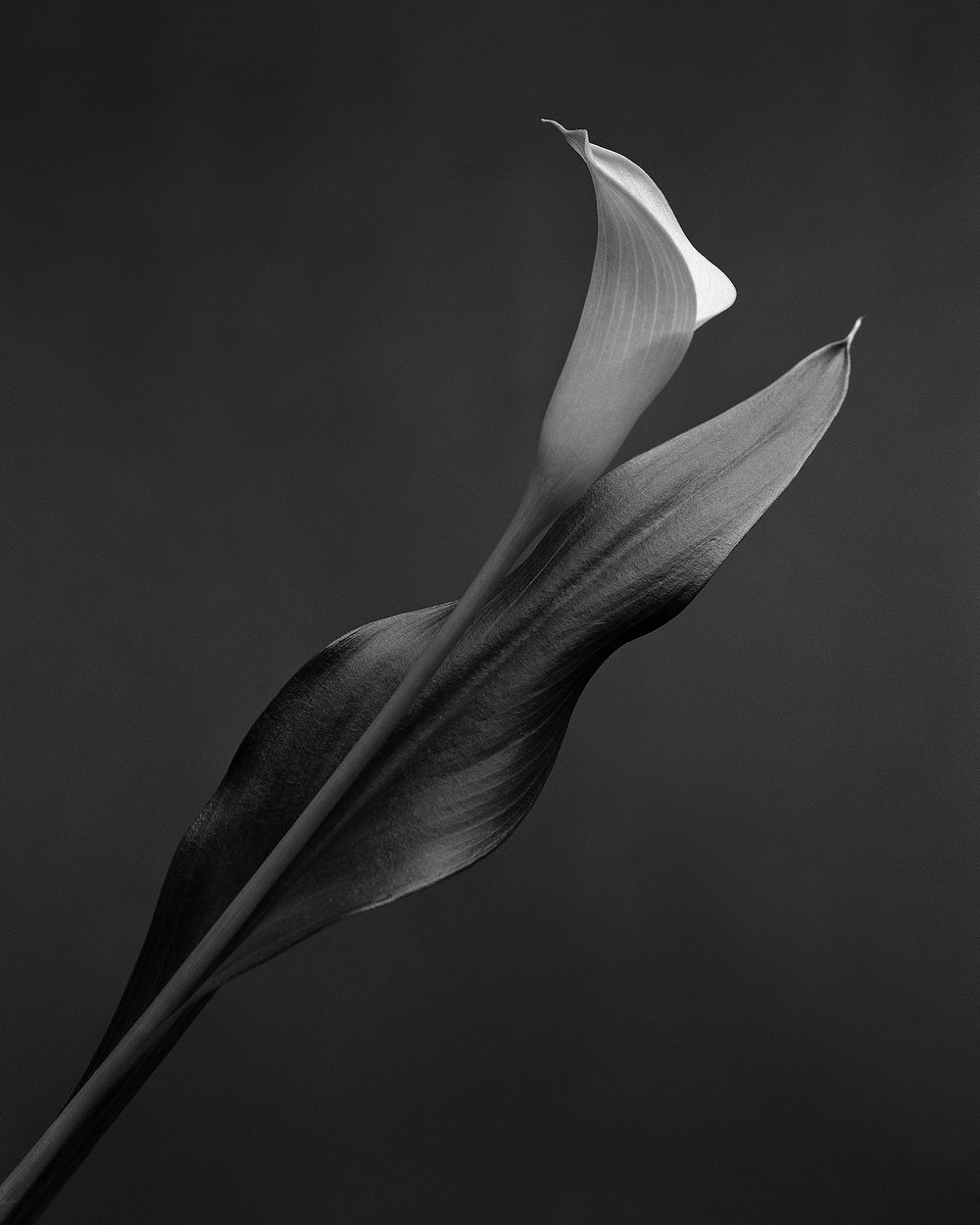 Calla | Crown Graphic 45 | HP5 | Howard Sandler