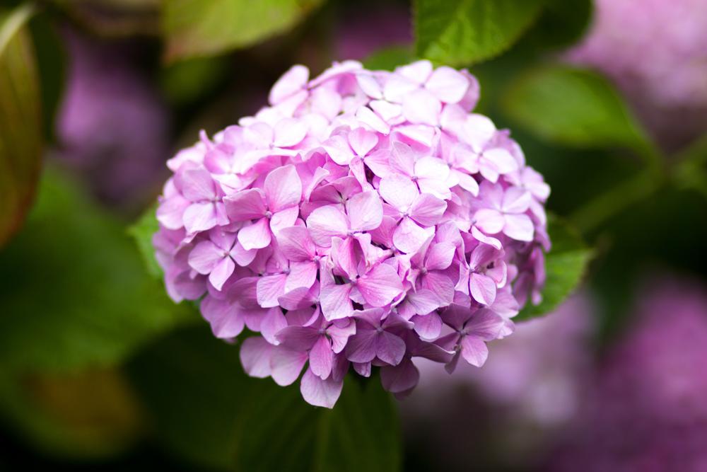 Victoria Flower 2.jpg