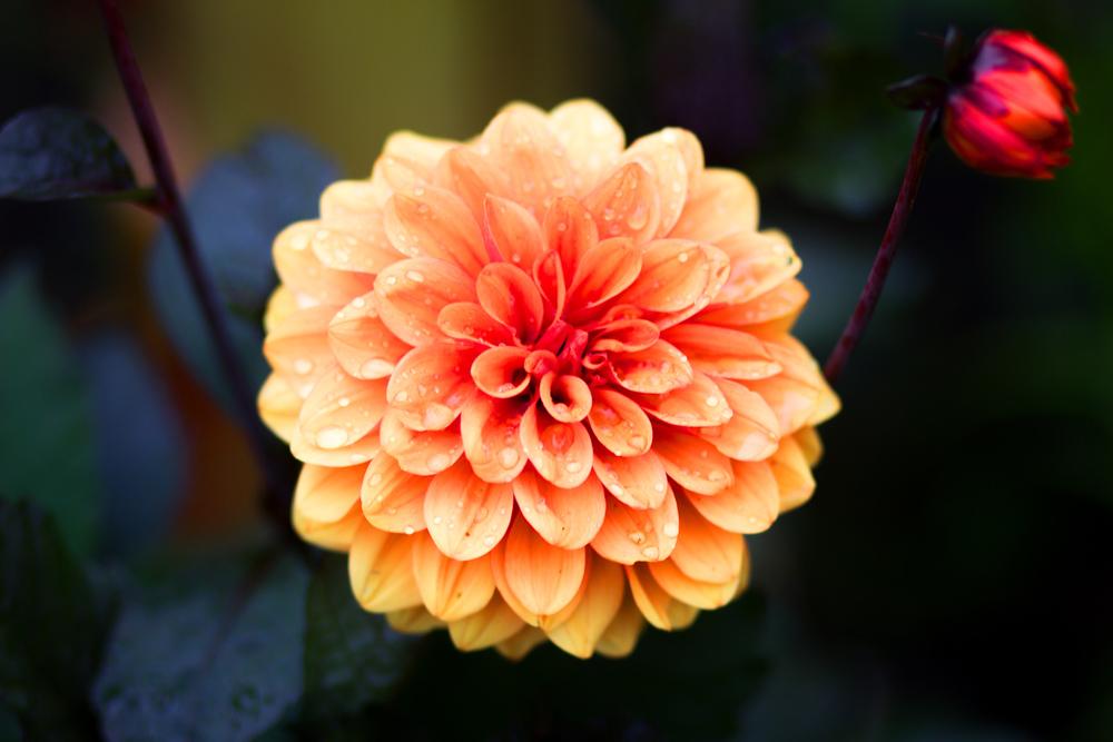 Victoria Flower 1.jpg