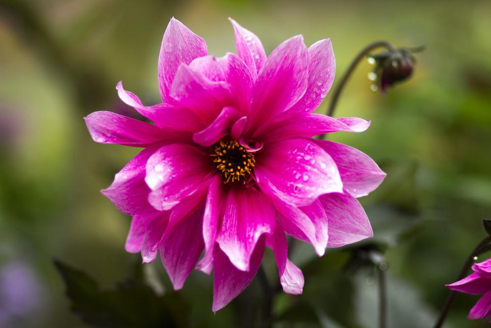 Victoria Flower 4.jpg