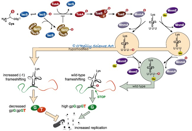 Competing pathways control host resistance to virus via tRNA modification and programmed ribosomal frameshifting.   Maynard  ND, Macklin DN, Kirkegaard K,  Covert  MW.  Mol Syst Biol . 2012 Jan 31;8:567.