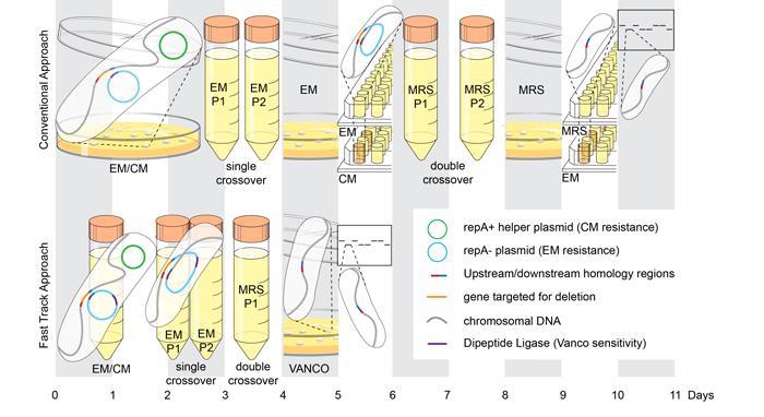 d-Alanyl-d-Alanine Ligase as a Broad-Host-Range Counterselection Marker in Vancomycin-Resistant Lactic Acid Bacteria.   Zhang S, Oh JH, Alexander LM, Özçam M,van Pijkeren JP.  J Bacteriol. 2018 Jun 11;200(13). pii: e00607-17. doi: 10.1128/JB.00607-17. Print 2018 Jul 1.