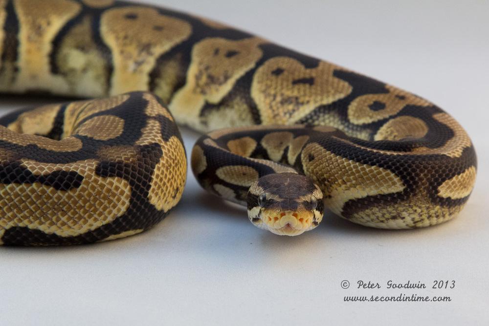 Ball Python-2.jpg