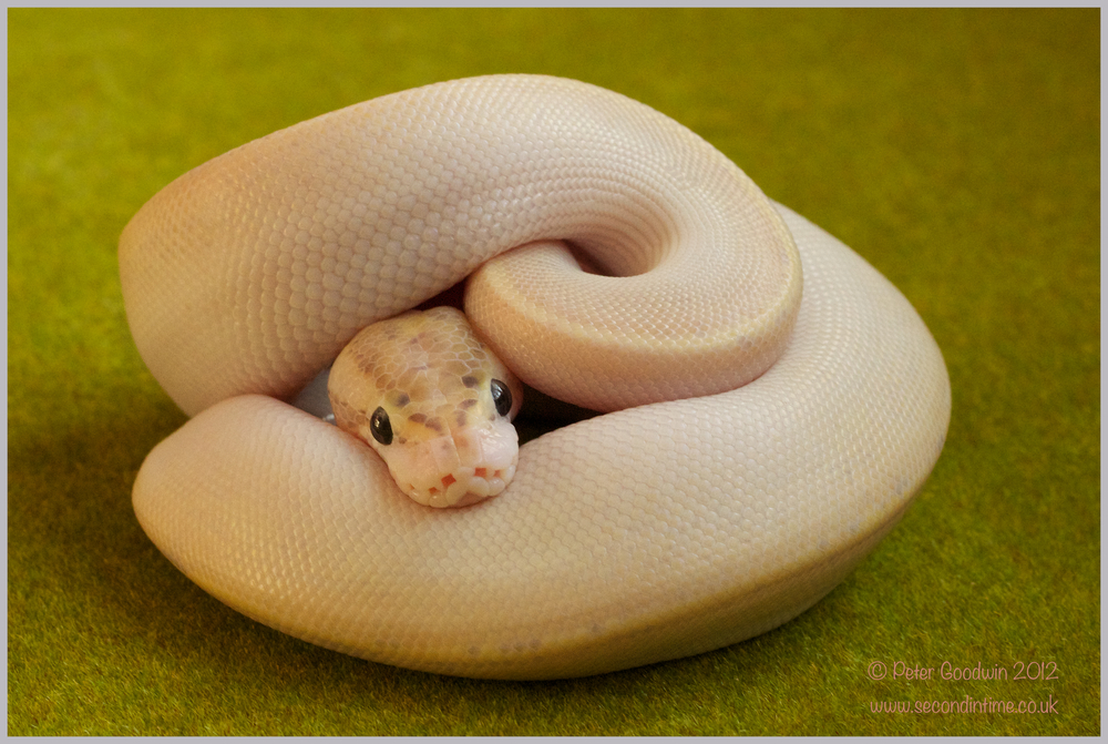Ivory Ball Python.jpg
