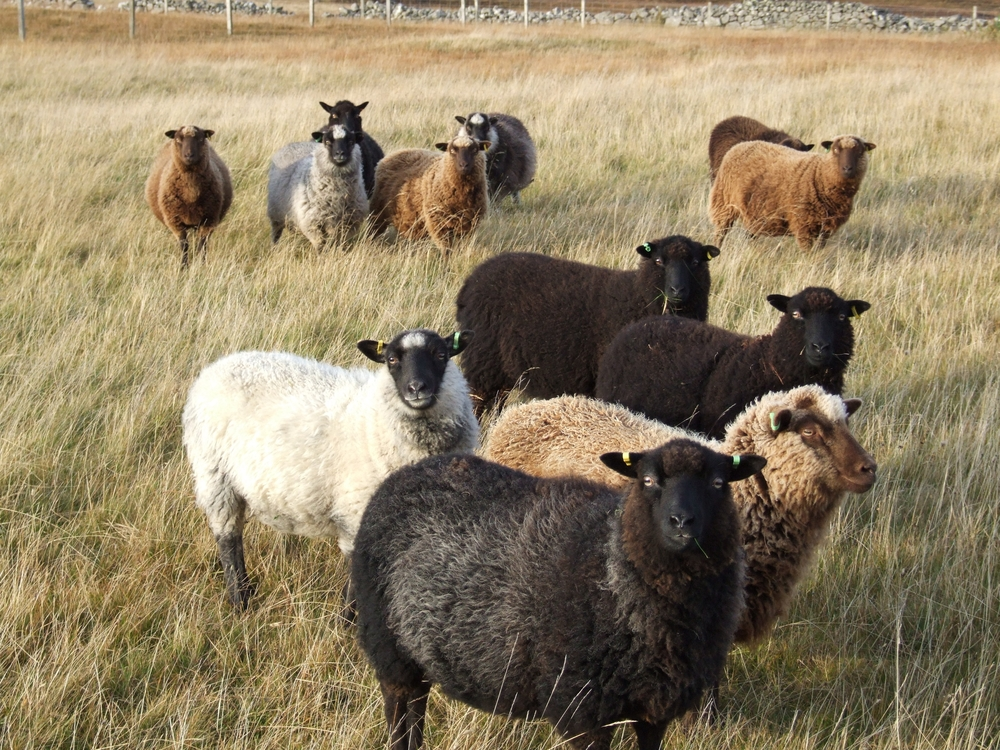 SCF-shetland sheep north Hamarsland.JPG
