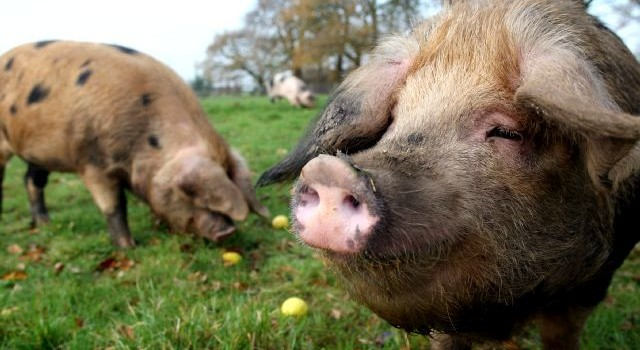 Oxford_Sandy_and_Black_Pigs_Outdoors1-640x350.jpeg
