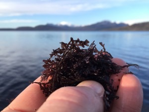 Pepper Dulse