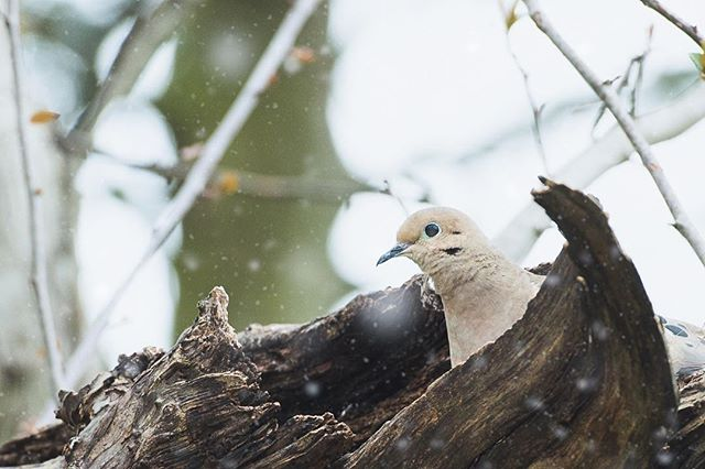 Dedicated. Spotted this little lady guarding her nest in this spring snow squall. #birdphotography #lancasterpaphotographer #wildlifephotography #backyardphotography #birdphotography🐦 #doves #rightplacerightime #guardingthenest #dedicated #snowflurries #snowphotos #photographyisfun #photographyismylife yismylife