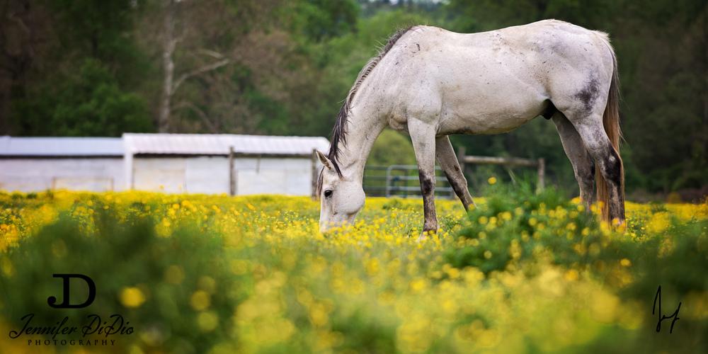 horses-buttercups-may-21-Edit.jpg
