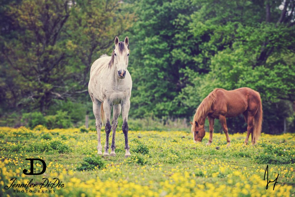 horses-buttercups-may-11-Edit.jpg
