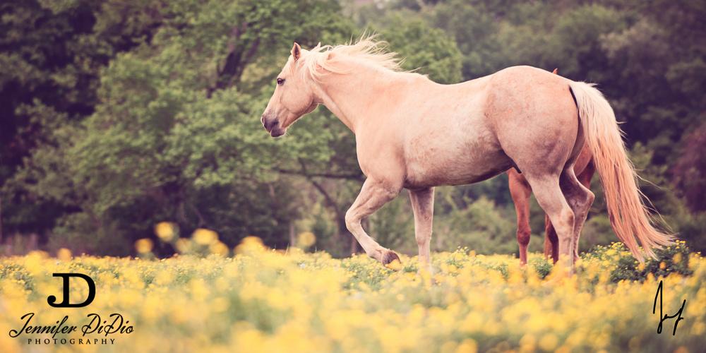 horses-buttercups-may-27-Edit.jpg