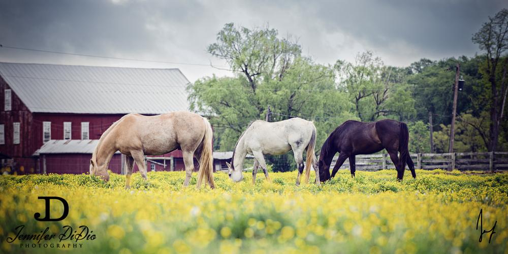 horses-buttercups-may-30.jpg