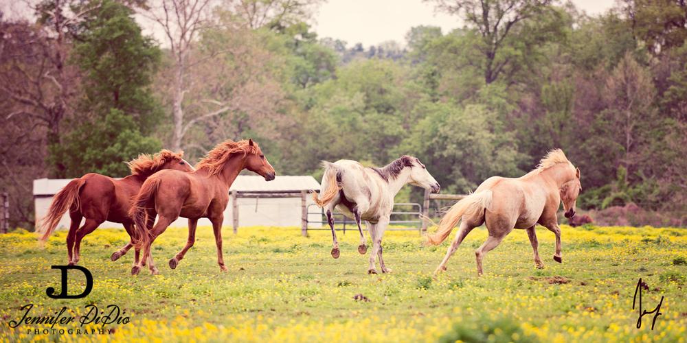 horses-buttercups-may-38-Edit.jpg