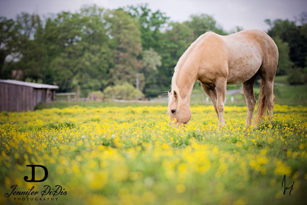 horses-buttercups-may-44-Edit.jpg